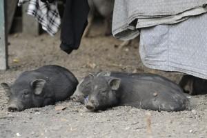 Cochons au Laos - K16