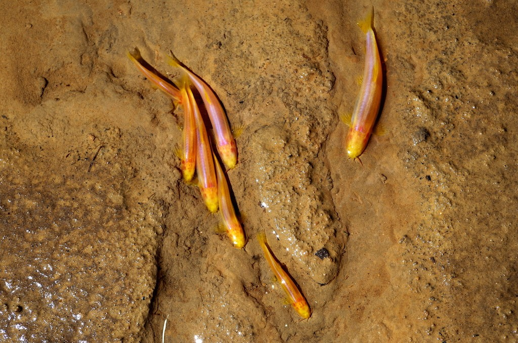 Poissons cavernicoles aveugles - Eyeless cave fishes (Bangana musei)