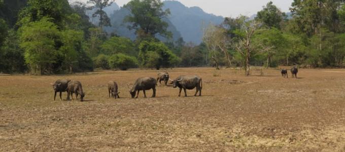 Buffles dans le poljé de Ban Vieng